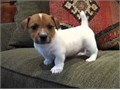 Jack Russell PupsWell Trained Male and female Puppies available for Sale nowThey are Akc Reg and V