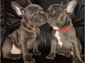 I have 2 beautiful French bull - dog puppies for sale currently 10 weeks old AKC registered wi