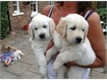 Available males and females Golden Retriever puppies ready now for a new homes  Textcall at 804