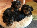 male and female teacup yorkie puppies available for great homes only at 400 C