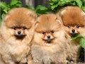Super adorable Pomeranian puppies So gentle and affectionateThis is a great breed for families wit