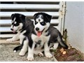 Healthy siberian husky puppies we have 3 siberian husky ready for rehoming fanta