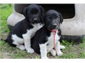 We have an excellent line of Hybrid Retriever Puppies and Started DogsOur dogs are raised here at