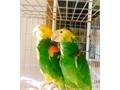 Pairs of Amazon Parrots for sale