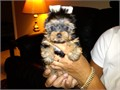 Out Standing Cute and Akc Register Yorkie PuppiesCharming Teacup Yorkie puppies