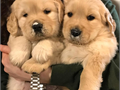 Golden Retriever puppies for sale Cutest Golden Retrievers ever I can believe for over a few years