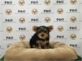 Yorkshire Terrier Male Small  125000 310-350-3422