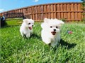 Super adorable Maltese Puppies So gentle and affectionate I have one male and one female left The