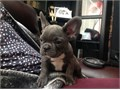 FRENCH-BULLDOG Puppies Contact via 850-359-5111They are 12 weeks old  healthy and have their firs