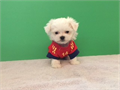 Tiny Maltese DOB 530 Cutest face short round body such a personality with little attitude that w