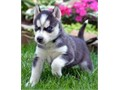 Siberian husky puppies in need of a new home contact us for more info