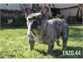 Enzo has great linage thick bones low to the ground soft coat great temperament Thick with good