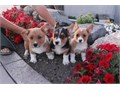 email us for more details landrymonica74gmailcom0r text 619-597-7869Hello fellow Corgi lover