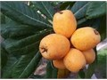 1 gallon 1 foot tall 515 gallon 6 feet tall 50 Loquat Tree many other fruiting plants Chaya Tree