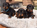 For further details please do contact us by text on 949-245-3945Beautiful Doberman Pinscher puppie