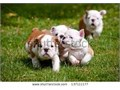 ENGLISH BULLDOG CKC 2 months puppies ready to go 3 males 3 females they have papers and shots 13