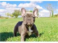 Uniquely colored BLUE French Bulldog Female Puppy named Cali DOB 1-28-17 Current on vaccines  dew