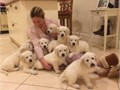 Golden Retriever PuppiesTwo males and one female arenow reserved There are 3males and 3 fem