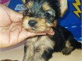 Yorkie puppies for re-homing make your kids the happiest in the world during this period They are b