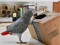 Calm African grey parrots available they are well trained love playing with pe