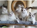 We have adorable Male and Female ragdoll kittens available for a new home They are fully health che