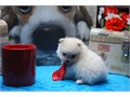 If you have any question about my Wonderful Cream Pomeranians call me or text me at 909492-192