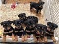 Top Class Rottweiler Puppies AvailableThese gorgeous Rottweiler puppies are so small and cute Thei