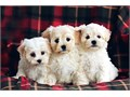 BEAUTIFUL UNIQUE MALTIPOO PUPPIES FOR SALE estimated adult weight is between 4-6 poundsAll very