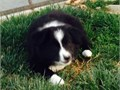 AKC reg Border Collie Black and white female 9 weeks old Dewclaws removed First sets of shots a