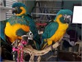 Health tasted Pair of Gold and Blue Macaw Parrots text me at 213 290-x1x9x6x3