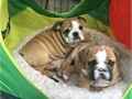 Excellent English Bulldog Puppies of prefect quality These little ones are purebred Beautiful whit