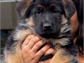 World Class litter Beautiful German Shepherd Holiday puppies this litter come from the best blood