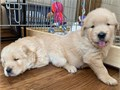 Male and female Golden Retriever puppies They are 11 weeks old vet checked dewormed and have all