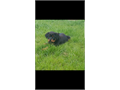 1  female German Rottweiler Puppy 5 months  Pictures of parents  Tails docked first shot  Mother