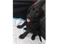 Fully vaccine Labrador retriever Brought from Happiness is Pet just two days ago Because of some p