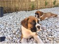 Boxer puppies for sale These beautiful puppies are family raised and are very friendly They love
