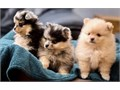 6 Adorable Pomeranian Puppies For Sale4 boys  2 girlsFully weenedHave b