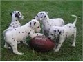 Stunning Dalmatian puppies for sale available now FOR new home please for more info and pictures do
