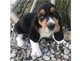Sweet Basset HoundsFor more Information Send us message via text 424 209-8