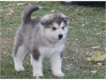 Wondrous Alaskan Malamute Puppies Available For further question or fast response textcall at 430