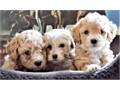 MALTIPOO PUPPIES ADORABLESAdoption fee 2875Summary Breed - MALTESE  POODLEADORABLES cute