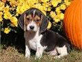 Beagle Puppies  very sweet and loving temperamentTexts only at601 885-3203