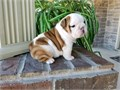 English Bulldog Pups BoyGirls  10weeks old  vaccinated and come papers interested Textcall 51
