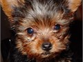Cute stunning well trained 11weeks teacup Yorkies available for adoption comes with complete health