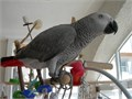 gfh African Grey Parrots for sale I have a male and a female for more info and pics text 802 xx