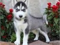 text us for details 619-597-7869Top quality male and female Siberian Husky puppies Nice and Healt