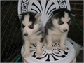 Cute and Adorable siberian husky Puppies for AdoptionWe have two amazing sib
