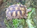 Healthy well established female sulcata 17 inches 35 years of age eating a wide range of foods