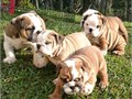 BULLDOG PUPPIES - AKC Grand Multi Best in Show Specialty CHAMPION Father CHAMPION Sired Moth