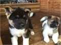We have 2 beautiful kc registered Akita puppies looking for there forever homes Both parents have a